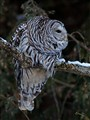 Barred Owl Focused on the Hunt