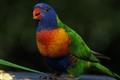 Australian Rainbow Lorikeet