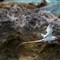 Bermuda_longtail-4