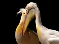 pelicans in love