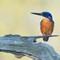kingfisher15052020_698v1a