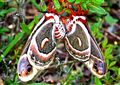 Cecropia Silk Moths