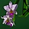 Cattleya Orchids. not cropped PENTAX K5