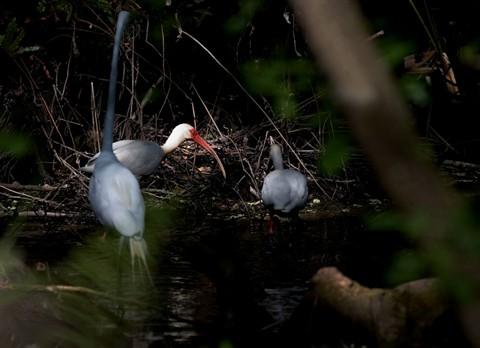 Wading Birds (57959117)
