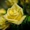 Anniversary Roses Nov 12-1-6