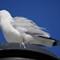 03_seagull3