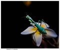 Mantis Flower