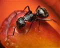 Black Ant (Formica subsericea?)