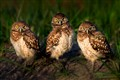 Star Down From Burrowing Owlets