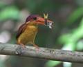 Rufus-backed Kingfisher