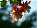 Traiiing Fuchsia - Swingtime variety