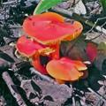 More Wild Mushroom