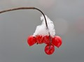 Winter snow on red fruit