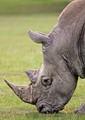 Rhinocerous Portrait