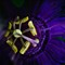 Passion flower-7615