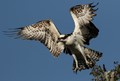 wings of an osprey