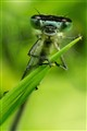 Damselfly Air Guitar
