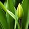 Early green tulip