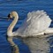 Welsh Swan