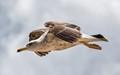 Gull Over Alvor,  Algarve