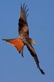 Red Kite Apogee