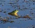 Florida Pigfrog