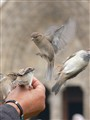 Feeding the sparrows
