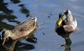 A couple of ducks coming for bread.