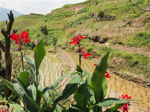 rice fields near guilin