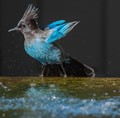Steller's Jay Bathing at Ventana Inn & Spa in Big Sur, California