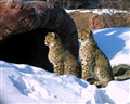 Two cute Cubs and winter Snow
