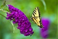 Why they are called Butterfly Bushes