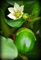 Capsicum Flower