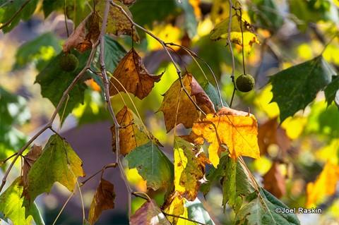 Fall Colors - LES