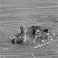 Hippo tanzania 2011
