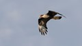 Northern Crested Caracara (Caracara cheriway) in flight