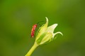 The cotton stainer bug