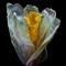 Dried Daffodil2-Sml