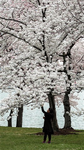Cherry_Blossom_Picker