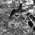 Giraffe at the Berlin Zoon