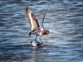 Black-tailed Godwit, drowning the competition