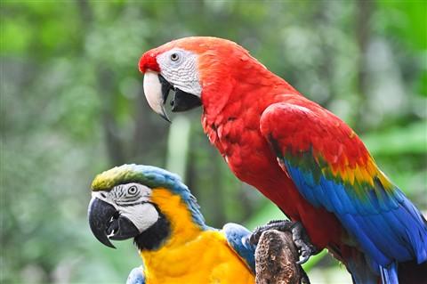 Parrots at Iguacu