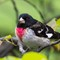 Male Rose-breasted Grosbeak - 1600w