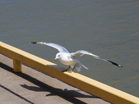 PS Gull♠t