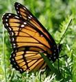 Monarch Butterfly - P1230406_DxO- 1600p challenge crop