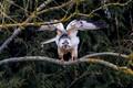 the rare white buzzard ready to take off!