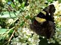 Australian Yellow Admiral Butterfly
