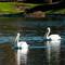 White Pelican 003