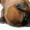Sony A99 - Wheaten Terrier Puppy