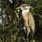 gold crowned heron 4-22-14 #3 (1 of 1)